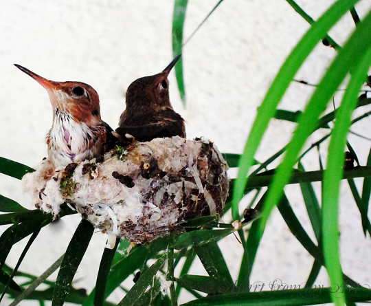 Two Hummingbirds in their nest
